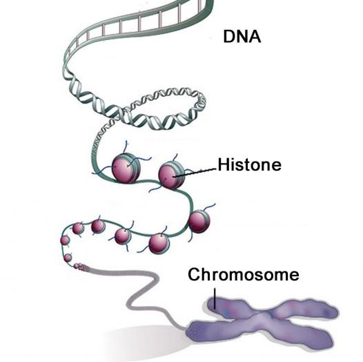 dna-histone-chromosome