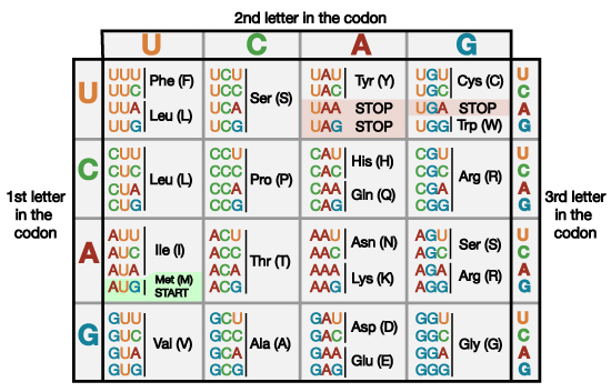 Letter Sequence That Codes For Amino Acid