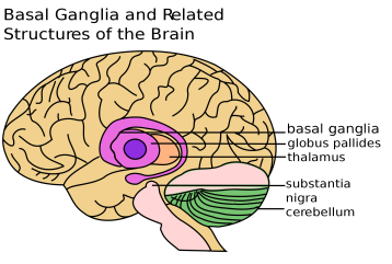 PowerOfHabit-Basal-Ganglia
