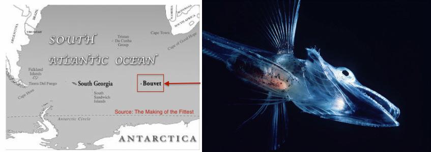 icefish-bouvet-fish